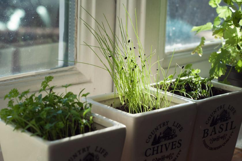 Herbs on sunny windowsill