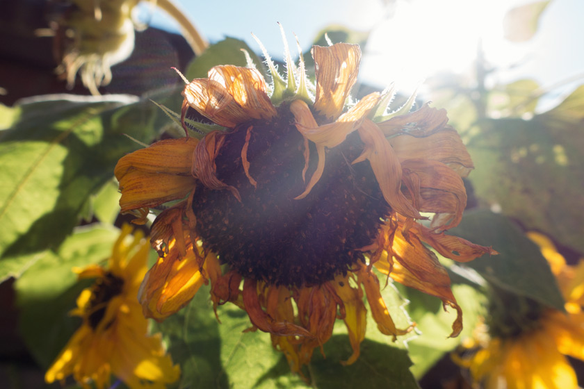 Sunflower head in sun