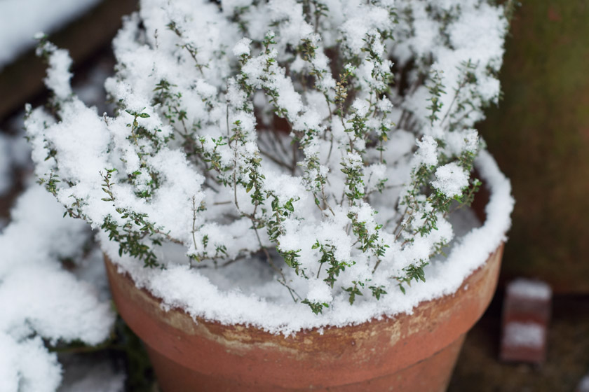 Thyme plant covered in snow