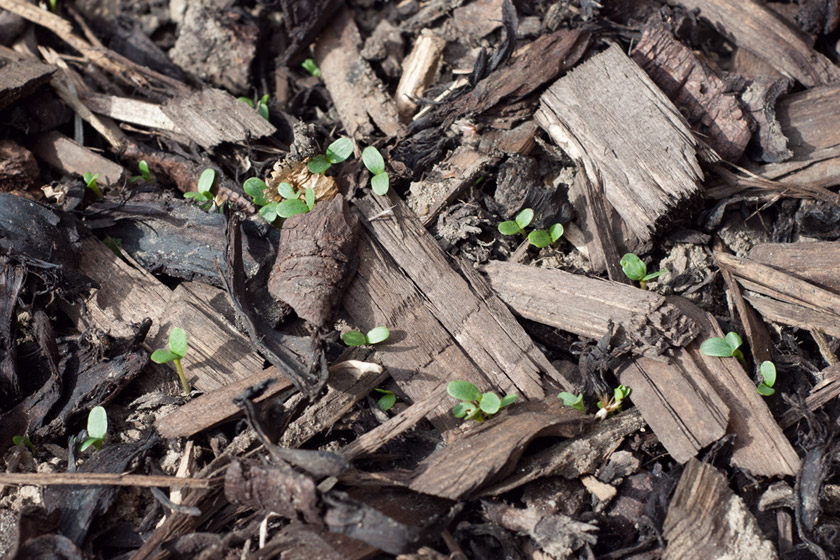 Tiny green leaves poking through soil