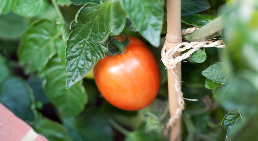 Red plum tomato on vine