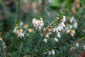 White heather flowers
