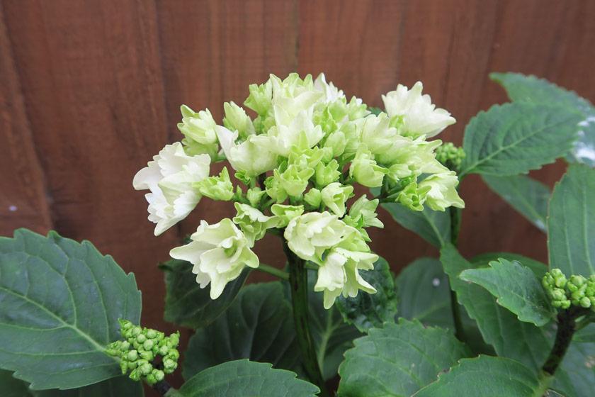 White hydrangea buds