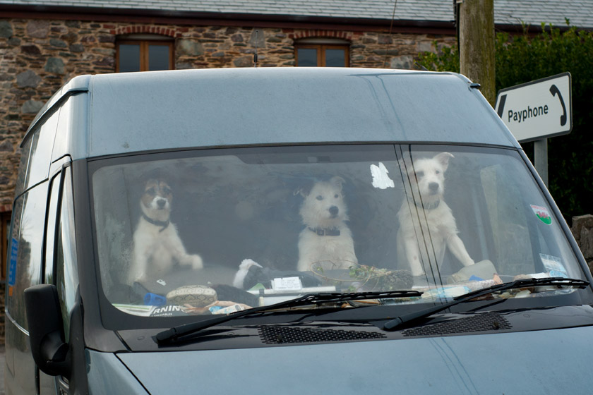 Three dogs in a van window