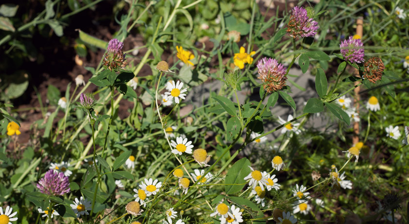 Wild daisies and clove flowers