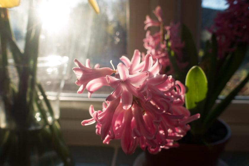 Hyacinth in the sun