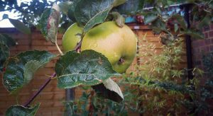 Cooking apple tree