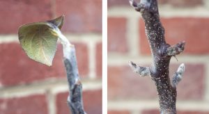 Apple tree leaves and buds