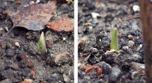 Autumn garlic shoots in soil