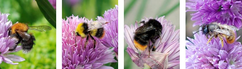 Various garden bees