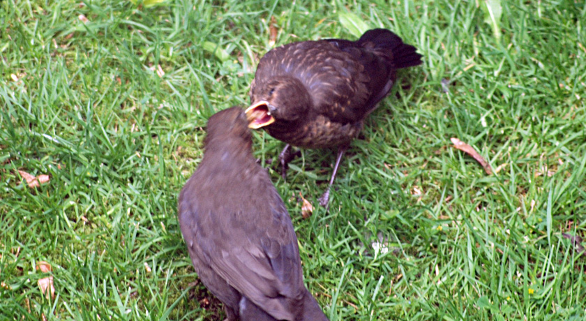 Blackbird feeding fledgling
