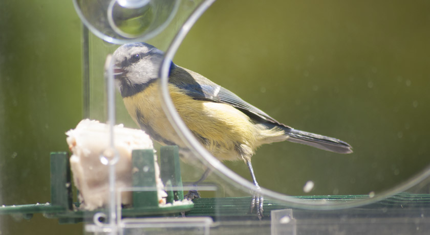 Blue tit on window feeder