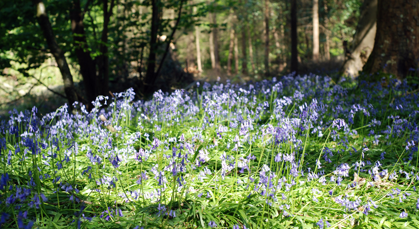 Bluebells in the sunshine