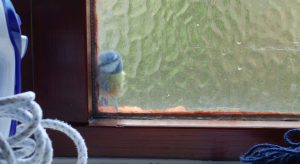 Blue tit pecking at window