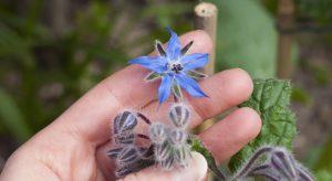 Bright blue borage flower