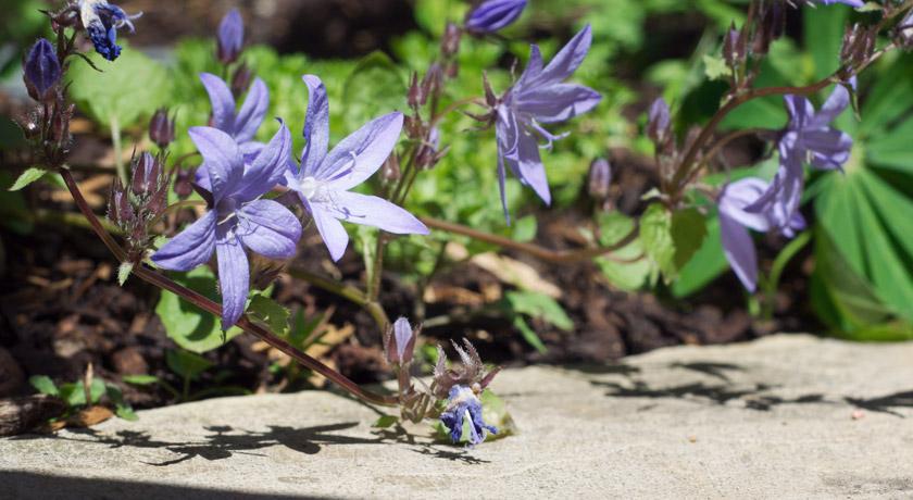 Campanula flowers on the garden path