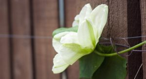 Green and cream Clematis flower petals