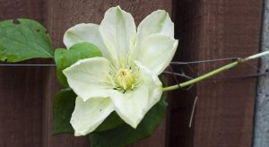 Green and cream Clematis flower