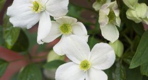 White Clematis flowers - Montana Miss Christine