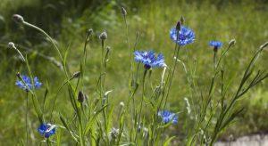 Bright blue cornflowers