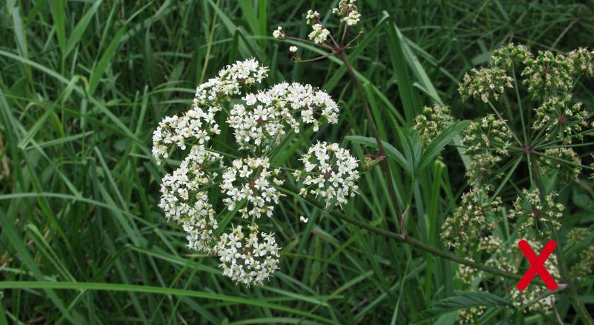 Cowbane plant