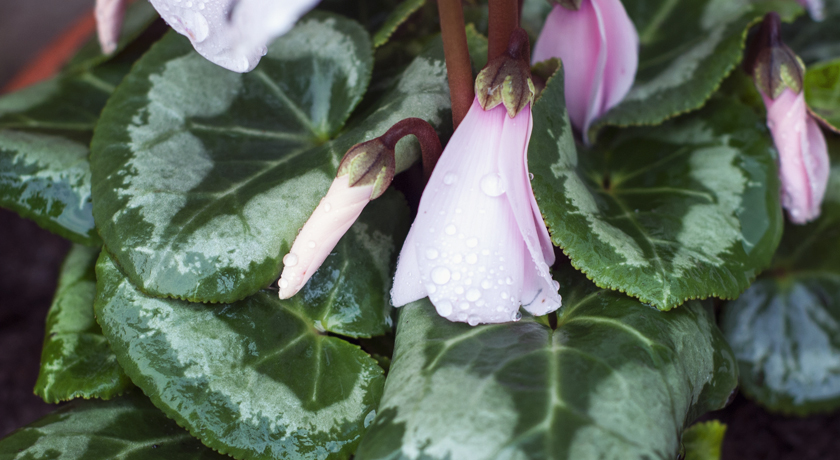 Pink cyclamen bud with rain drops