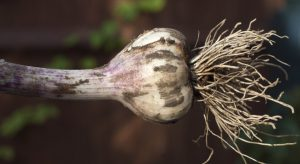 Small garlic bulb