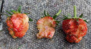 Half eaten strawberries