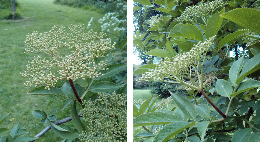 Closed elderflower buds