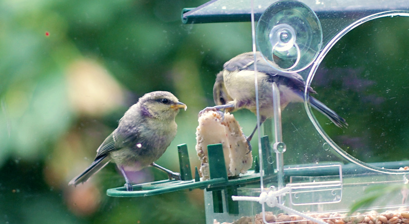 Fledglings in window feeder