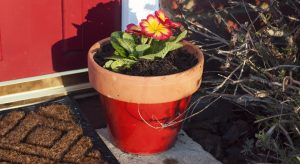 Potted primroses in a bright red pot