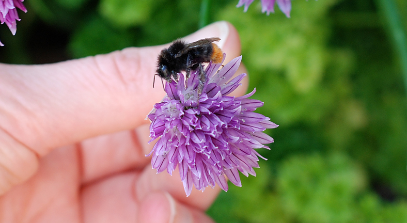 Red-tailed Bumblebee on chive flower