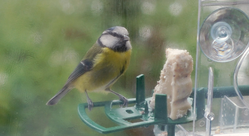 Colourful blue tit on window feeder with fat cake