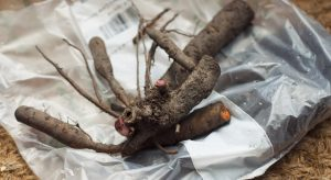 Coral Sunset Peony root