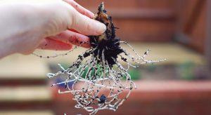 Long Autumn garlic roots