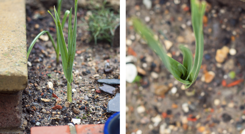 Tall green Fall/Autumn garlic shoots