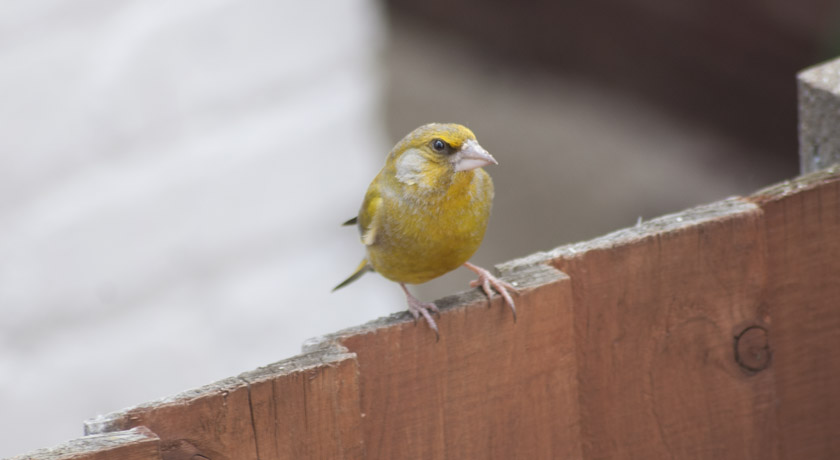 Greenfinch on fence