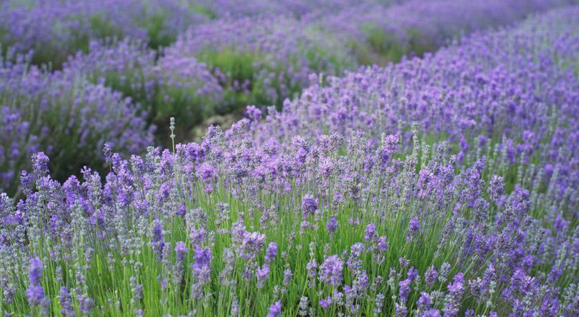 English lavender field