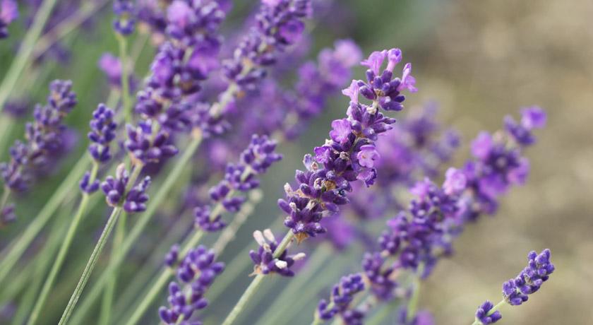 Purple English lavender