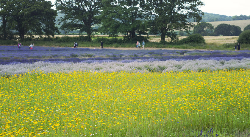 Lavender field and wildflower meadow