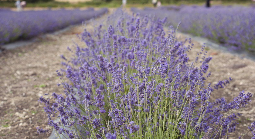 Lavender growing in lines