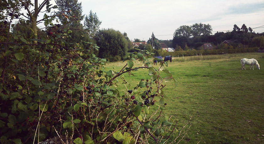 Blackberries next to horse field