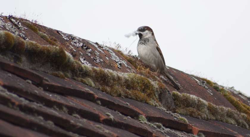 House sparrow with feathers in mouth