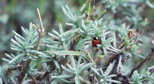 Ladybird on lavender plant