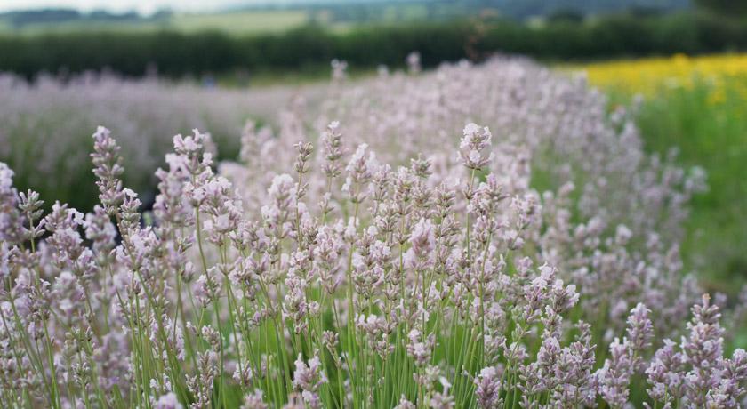 Pale pink lavender - Miss Katherine