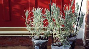 Young Lavender Vera plants