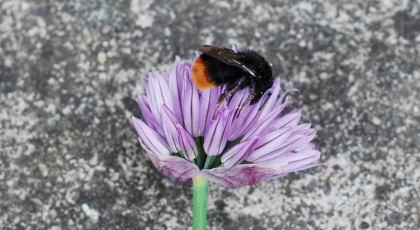 Bee slumped on chive flower