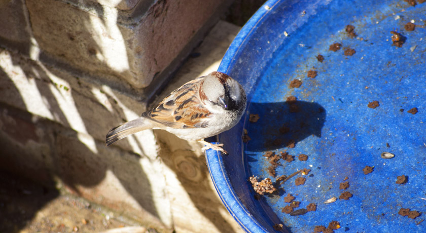 Male house sparrow on bird bath