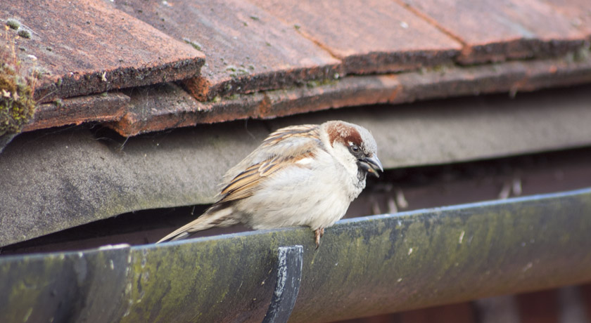Male house sparrow sitting on guttering