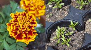 Marigold and seedlings